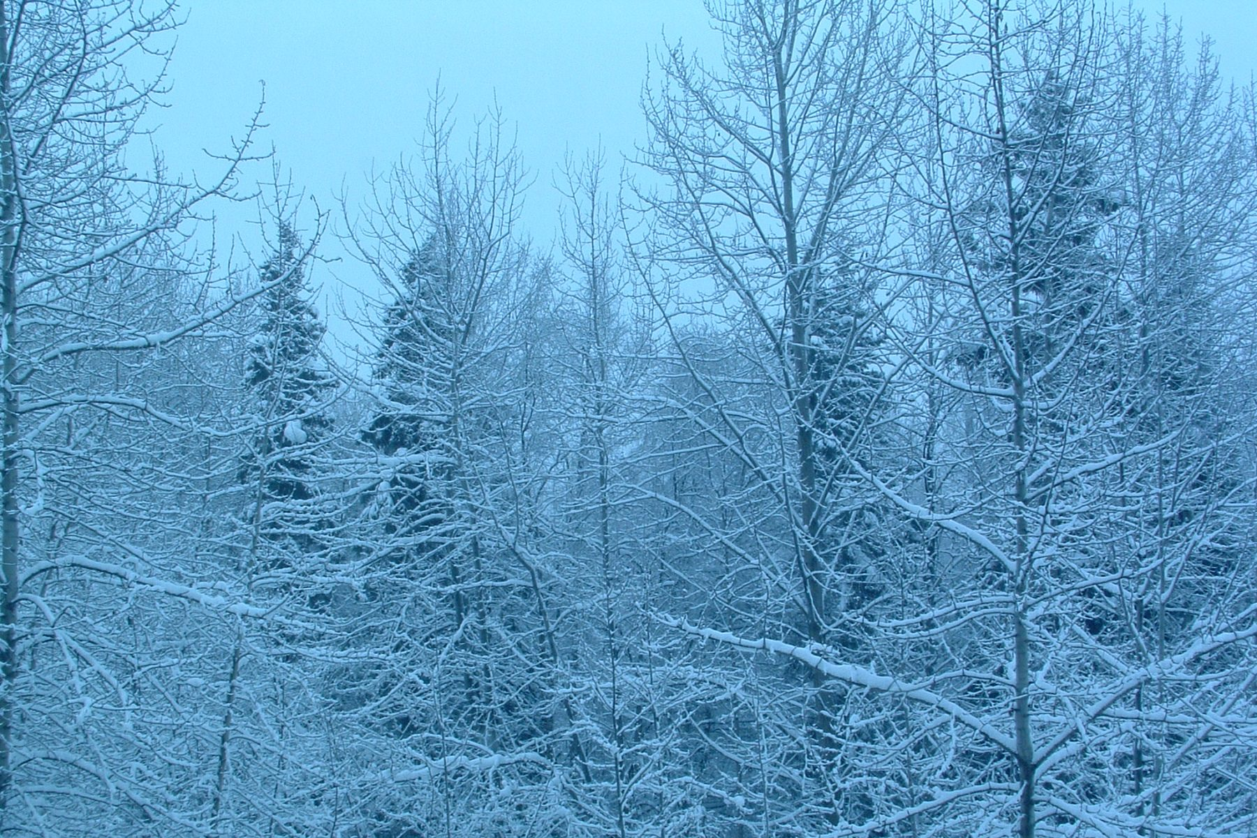 Alaska forest, winter