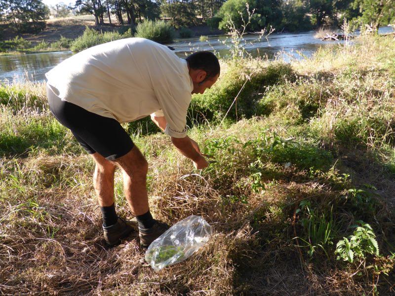 Stinging nettle harvest